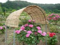 2018-05-13花と泉の公園-牡丹園117