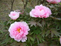 2018-05-13花と泉の公園-牡丹園119