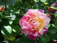 2018-06-09花巻薔薇園078