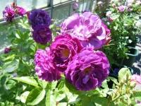 2018-06-09花巻薔薇園081
