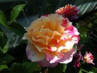 2018-06-09花巻薔薇園080