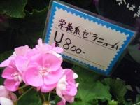 21回大船渡椿祭り2018-03-10重箱石243
