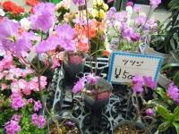 21回大船渡椿祭り2018-03-10重箱石250
