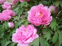 2018-05-13花と泉の公園-牡丹園126