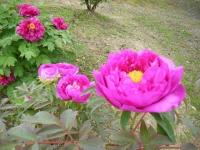 2018-05-13花と泉の公園-牡丹園125