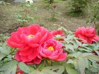 2018-05-13花と泉の公園-牡丹園124