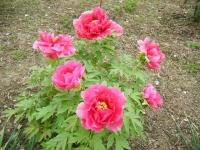 2018-05-13花と泉の公園-牡丹園122