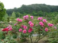 2018-05-13花と泉の公園-牡丹園123