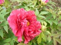 2018-05-13花と泉の公園-牡丹園121