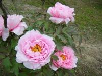 2018-05-13花と泉の公園-牡丹園132