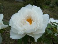 2018-05-13花と泉の公園-牡丹園130