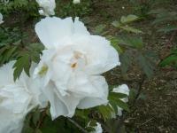 2018-05-13花と泉の公園-牡丹園129