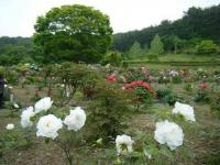 2018-05-13花と泉の公園-牡丹園127