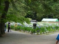 2018-06-30平泉-毛越寺アヤメ祭り-しろぷーうさぎ037