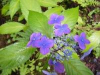 2018-07-08舞川紫陽花園ー重箱石018