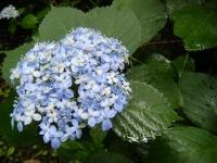 2018-07-08舞川紫陽花園ー重箱石014
