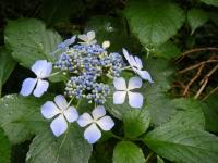 2018-07-08舞川紫陽花園ー重箱石023