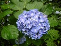 2018-07-08舞川紫陽花園ー重箱石021