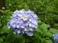 2018-07-08舞川紫陽花園ー重箱石019
