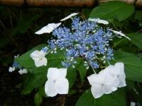 2018-07-08舞川紫陽花園ー重箱石030
