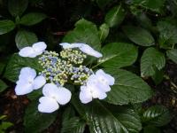 2018-07-08舞川紫陽花園ー重箱石025