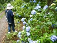 2018-07-08舞川紫陽花園ー重箱石034