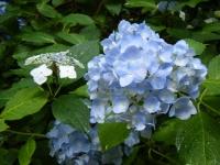 2018-07-08舞川紫陽花園ー重箱石033