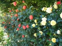 2018-06-09花巻薔薇園088