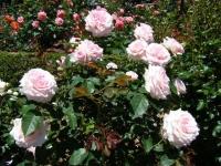 2018-06-09花巻薔薇園086