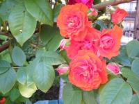 2018-06-09花巻薔薇園092
