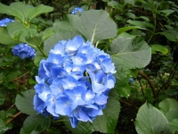 2018-07-08舞川紫陽花園ー重箱石042