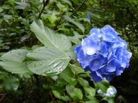 2018-07-08舞川紫陽花園ー重箱石041