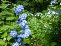 2018-07-08舞川紫陽花園ー重箱石037