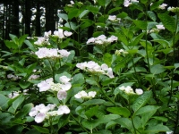 2018-07-08舞川紫陽花園ー重箱石048