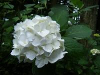 2018-07-08舞川紫陽花園ー重箱石044