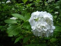 2018-07-08舞川紫陽花園ー重箱石043