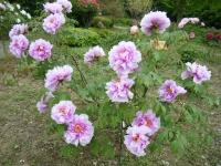 2018-05-13花と泉の公園-牡丹園137