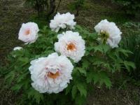 2018-05-13花と泉の公園-牡丹園135