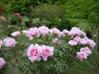 2018-05-13花と泉の公園-牡丹園134