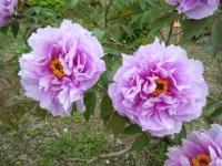 2018-05-13花と泉の公園-牡丹園144