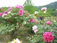 2018-05-13花と泉の公園-牡丹園142