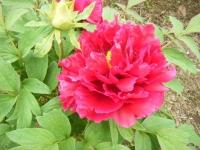 2018-05-13花と泉の公園-牡丹園143