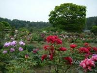 2018-05-13花と泉の公園-牡丹園141