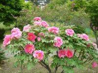 2018-05-13花と泉の公園-牡丹園140