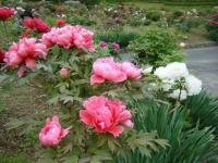 2018-05-13花と泉の公園-牡丹園139