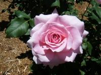 2018-06-09花巻薔薇園102