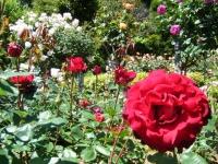 2018-06-09花巻薔薇園101