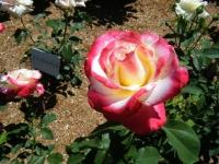 2018-06-09花巻薔薇園100