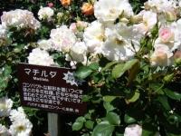 2018-06-09花巻薔薇園107