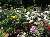 2018-06-09花巻薔薇園106